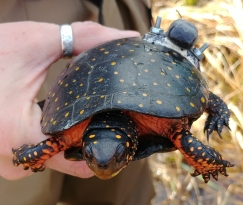Spotted turtle carrying a GPS transmitter
